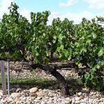 Galets, Kieselstein 'gesättigte' Böden sind ein typisches Terroir in Châteauneuf du Pape, Rhône
