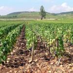 Flächen wurden auch im noblen Burgund bis ins Flachland ausgeweitet